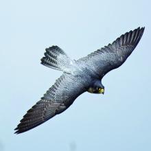 peregrine falcon in flight at the Colston Creek Access area