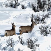 doe and fawn mule deer deep in snow