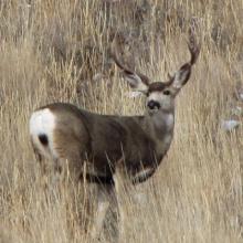mule deer buck in grass