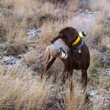 hunting dog with a Chukar in it's mouth standing in lightly dusted snowy grass