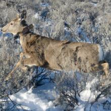 Mule deer, radio collar, telemetry, Southwest Region