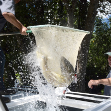 Chinook salmon stocked in the Boise River by Idaho Fish and Game crews.