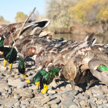 Waterfowl, ducks, C.J. Strike WMA, Southwest Region, duck hunting