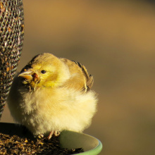 female_american_goldfinch_with_potential_salmonellosis