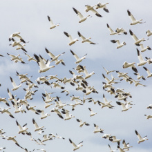 Snow Geese stop over at Fort Boise WMA on their spring journey north