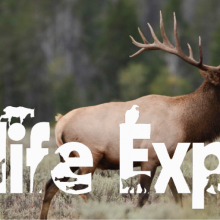 Large bull elk with antlers standing in sagebrush with forest background with the words Wildlife Expres