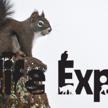 A bushy squirrel perched on top of a rock with the words Wildlife Express across the center of the photo.