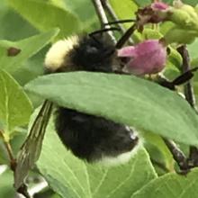 bombus occidentalis