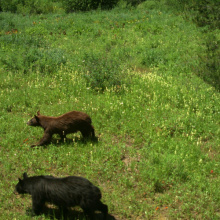 Black bears from game camera