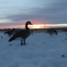 Canada goose decoys set in snow December 2014