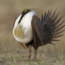 greater sage grouse Tom Reichner