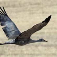 Sandhill crane flying over grainfield. Photo by Jason Beck IDFG