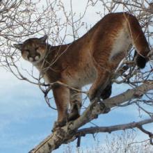 Lion in Cottonwood tree