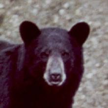 bear_black_head_shot