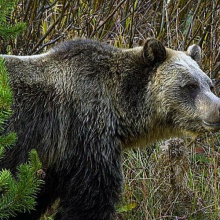 grizzly_general