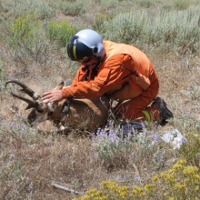Pronghorn Antelope Release