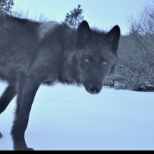 Wolf Trail Cam 11.jpeg