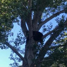 North Boise Black Bear 2021