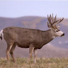 mule_deer_buckw456
