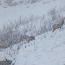 Winter elk, Southwest Region