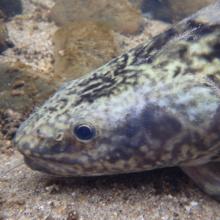 Kootenai River burbot_closeup