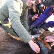 Biologist collaring elk