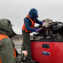 A Fish and Game staff member stands on the edge of a truck while checking deer buck while another staff member looks on.