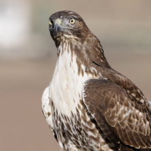 juvenile red tailed hawk on a fence head shot September 2013