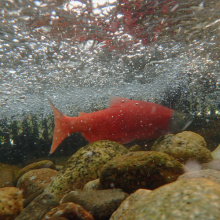 kokanee male spawning in a weir underwater shot by Art Butts August 2015