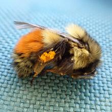 black-tailed_bumblebee