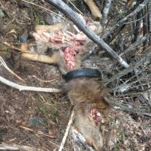 Calf elk mortality