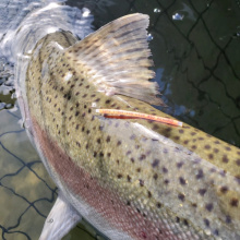 Picture of FLOY tagged steelhead from Snake River
