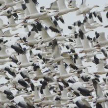 Snow geese flock, Southwest region, waterfowl, snow goose
