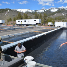 Sawtooth Hatchery, Chinook