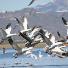 Snow geese, Magic Valley Region