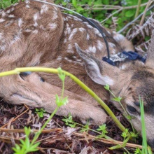 White-tailed deer study fawn.jpeg