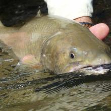 Bull trout1000820