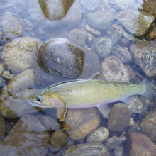 cutthroat trout, Clearwater, North Fork Clearwater, trout
