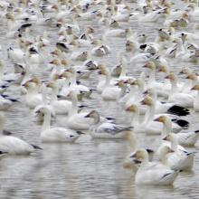snow geese, pond, Roswell Marsh, Southwest Region