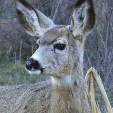 Young Mule deer in the MKNC