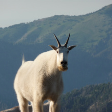 Mountain goat on rocks medium shot August 2011