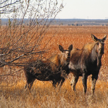 two cow moose at Market Lake WMA Wildlife Management Area in the Fall