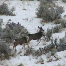 Mule Deer on the Boise River WMA
