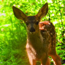 mule deer fawn June 2010