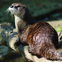 Pennal Access otter on log March 2011