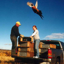pheasant being released April 2004 by enforcement