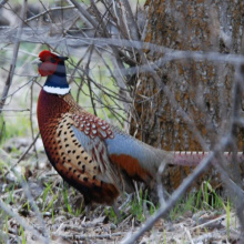 medium shot of a ring-necked pheasant in trees April 2009