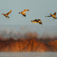 pintails ducks in flight preparing to land on a marsh March 2009