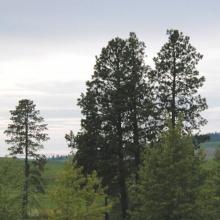 scenic pine trees vertical medium shot