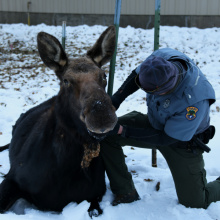 placing_a_radio_collar_on_a_cow_moose_in_hailey_dec_2020
